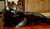 It's definitely not easy getting a decent shot of a solid black cat.  (August 2006)© Carolyn S. Murray 2006