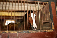 And then it was time to head inside and see the Clydesdales for ourselves.  (April 2012)© Carolyn S. Murray 2012