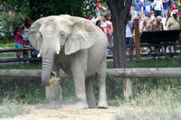 This one was giving the crowds a nice view while she ate!  (July 3, 2007)© Carolyn S. Murray 2007