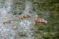 We weren't on the tow path very long when we ran into this family of ducks.  (June 22, 2008)© Carolyn S. Murray 2008