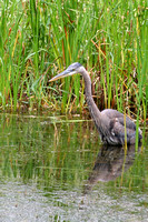 Not long after we saw the duck family, we came upon this blue heron!  Okay, a nice gentleman walking the other way told me he was up ahead and so I kept my eyes peeled for him.  (June 22, 2008)© Carol